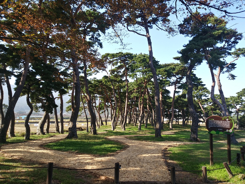 전라남도, 2월 명품숲 '보성 웅치 용반 마을전통숲' 선정 130년된 소나무 168그루 천혜 풍경 간직