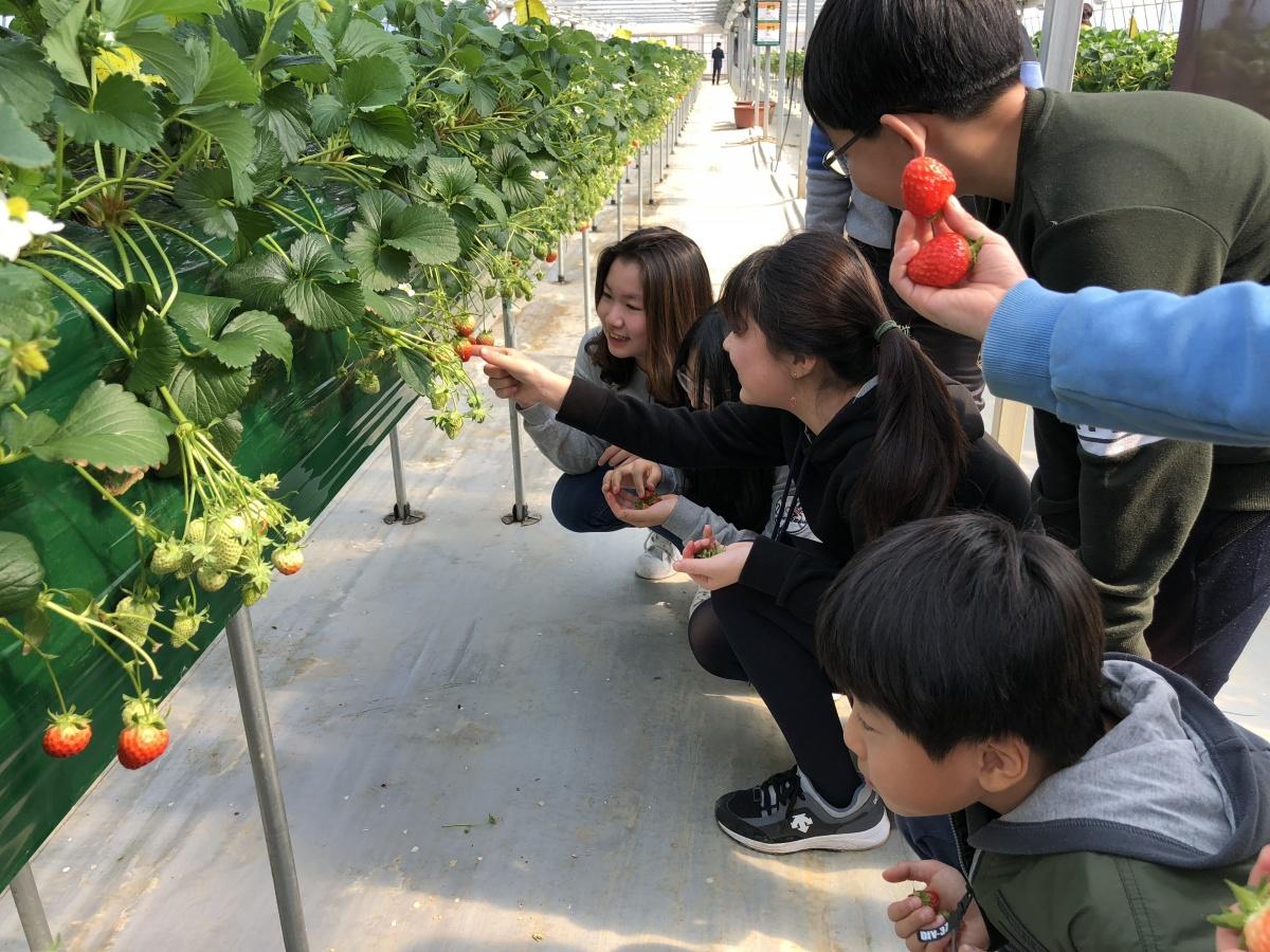광주시, 딸기농장 수확체험 프로그램으로 인기