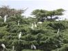 국립생물자원관,백로, 우리나라에 얼마나 살고 있나? 전국 백로류 집단번식지 176개소에서 7종 34,373쌍 번식 확인